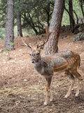 Dama del Dama de los ciervos en barbecho Fotografía de archivo libre de regalías
