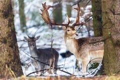 Dama del dama de los ciervos en barbecho con las astas grandes que miran la cámara en bosque del invierno detrás del árbol Paisaj Foto de archivo