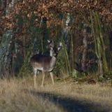 Dama del Dama, especie de mamífero de la familia de los ciervos, ordinario de Daniel Imagenes de archivo