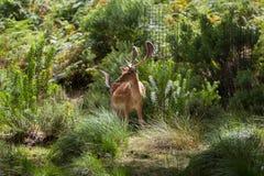 Dama di cervo dei cervi fotografia stock