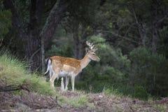 Dama di cervo dei cervi fotografia stock libera da diritti
