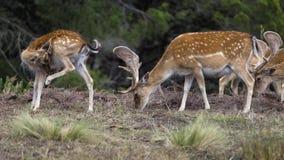 Dama di cervo dei cervi immagini stock libere da diritti