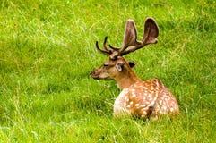 Dama do dama dos cervos Fotos de Stock