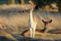 Dama et mère de Dama de faon de cerfs communs affrichés photos stock