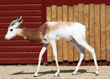 dama gazela Obraz Royalty Free