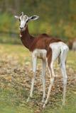 Dama gazela obrazy royalty free