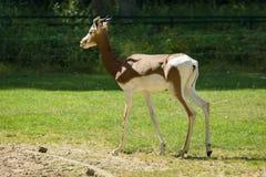 Dama gazela Zdjęcia Stock