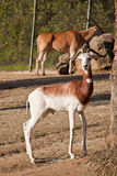 Dama Gazelle. (Nanger dama is a species of gazelle that lives in Africa in the Sahara desert royalty free stock images