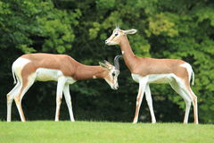 Dama gazelle Stock Photography