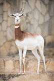 Dama gazelle Royalty Free Stock Image