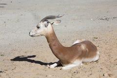 Dama Gazelle, Gazella dama dama, Stock Images