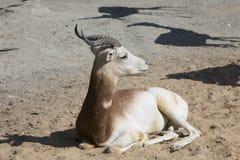 Dama Gazelle, Gazella dama dama Royalty Free Stock Images