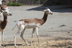 Dama Gazelle, Gazella dama dama Royalty Free Stock Photos