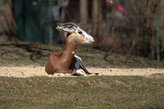 Dama gazelle, Gazella dama mhorr or mhorr gazelle is a species of gazelle stock photography