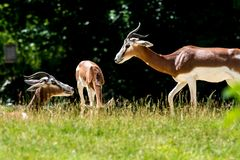 Dama gazelle, Gazella dama mhorr or mhorr gazelle is a species of gazelle. Lives in Africa in the Sahara desert and the Sahel and browses on desert shrubs and royalty free stock photos