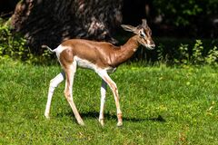 Dama gazelle, Gazella dama mhorr or mhorr gazelle is a species of gazelle