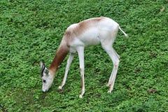 Dama Gazelle Stock Image
