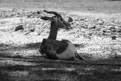 Dama gazelle Stock Images