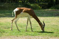 Dama gazelle. (Nanger dama) in a cage stock photography