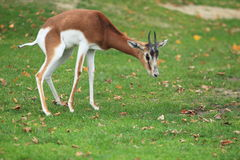 Dama gazelle. Standing in the grass royalty free stock image