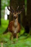 dama jeleni ugorów potomstwa Zdjęcia Stock
