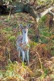 dama jelenia ugorów samiec Obrazy Stock