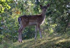 dama jelenia ugorów samiec Zdjęcia Stock