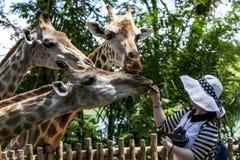 Dama karmi żyrafy przy Singapur zoo w Singapur Zdjęcie Royalty Free