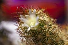 Dama Palcowy Kaktusowy kwiat Zdjęcia Stock