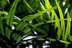 Dama palmowego liścia zakończenie up Obrazy Royalty Free