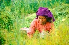 Dama tnący ryż w Nepal Zdjęcie Stock
