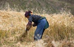 Dama tnący ryż w Tybet Obrazy Royalty Free