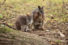 Dama wallaby Royalty Free Stock Photo