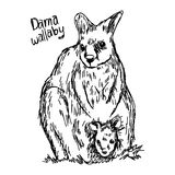 Dama wallaby - vector illustration sketch hand drawn with black. Lines, isolated on white background Stock Image