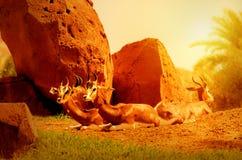 Damagazelle Lizenzfreies Stockfoto
