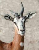 Damagazelle Royalty-vrije Stock Foto