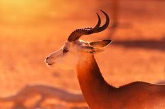 Damagazelle tijdens gouden uur stock foto