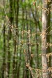 Damage, defoliation and deforestation caused by high numbers of winter moth Operophtera brumata caterpillars royalty free stock image