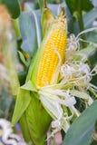 Damage to corn crop. Royalty Free Stock Photo
