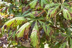 Damage to the leaves of the chestnut miner moth Cameraria ohridella . stock photography
