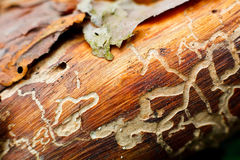 Damage to tree. Termite damage to a wood Royalty Free Stock Photography