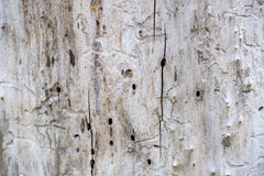 Damage white wood by termite Royalty Free Stock Photo