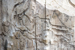 Damage white  wood by  termite Royalty Free Stock Image