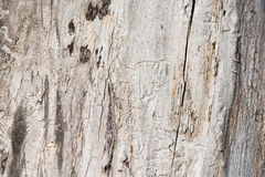 Damage white  wood by  termite Stock Photography
