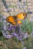 Damaged. A damaged female 'Gatekeeper' (Pyronia tithonus) resting on some heather Royalty Free Stock Photo