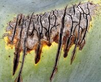 damaged agave leaf 1 Stock Image