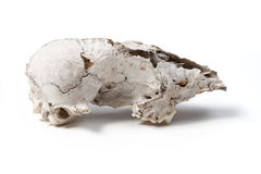Damaged Animal skull Royalty Free Stock Image