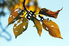 DAMAGED AUTUMN LEAVES. Damaged yellow leaves of Japanese Raisin tree in Autumn Royalty Free Stock Photography