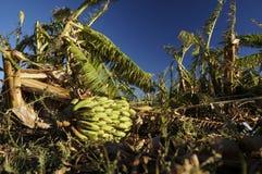 Damaged banana plantation Stock Image