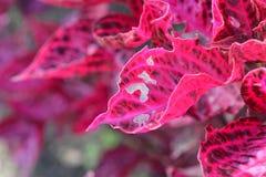 Damaged Blood Leaf plant Royalty Free Stock Photos